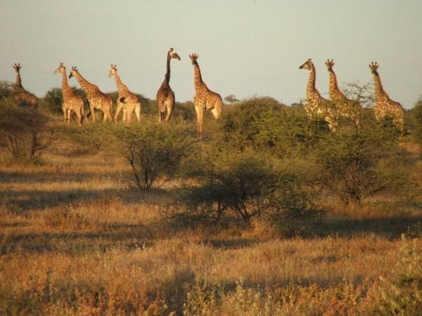Giraffe_1721_600_450_cy_100